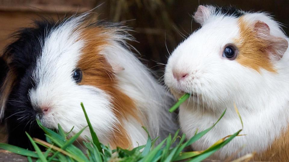2 cochons d'inde