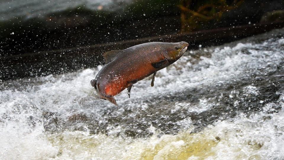 Un saumon atlantique remonte une rivière