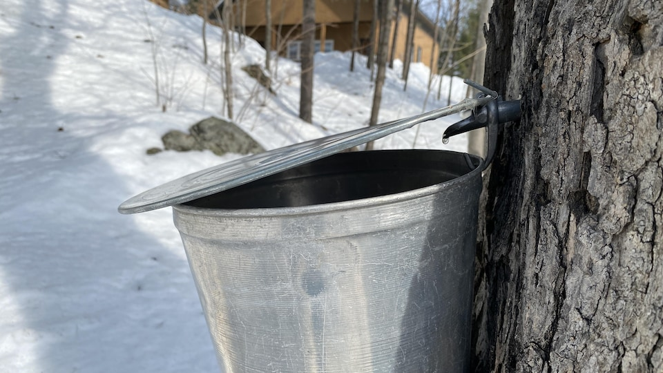 De l'eau d'érable dégoute d'un chalumeau.