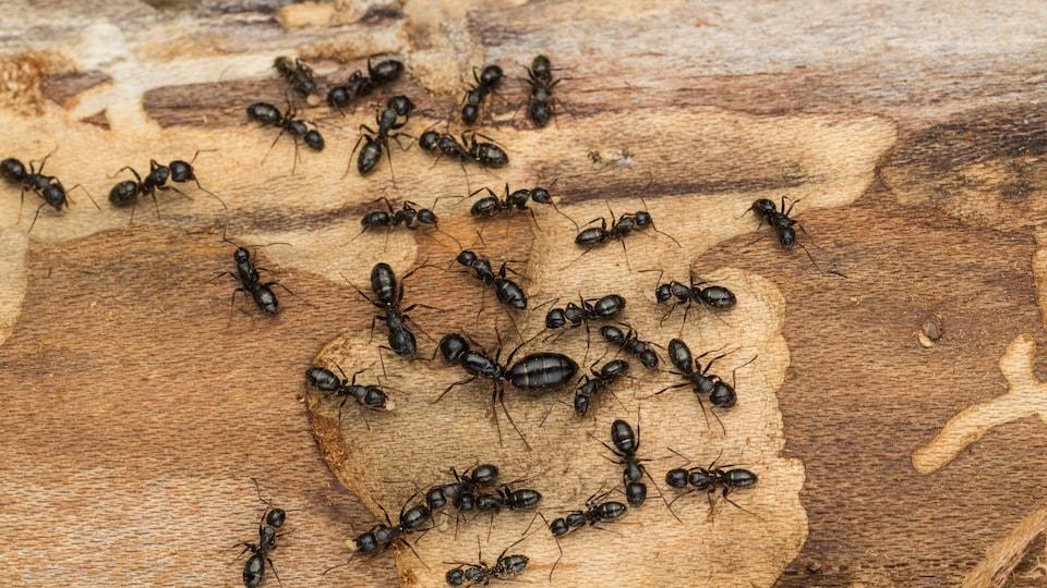 Les fourmis charpentières peuvent mesurer jusqu'à 25 millimètres de long.