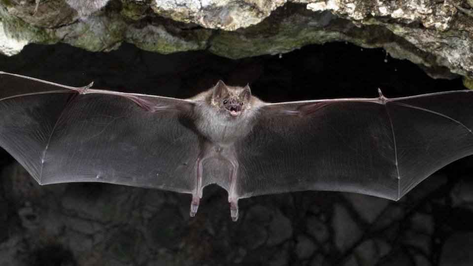 Une chauve souris vampire les ailes déployées dans une grotte sombre
