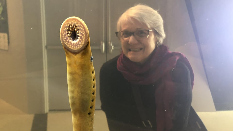 Gros plan sur la bouche ronde tapissée de dents acérées d'une lamproie marine dans un aquarium