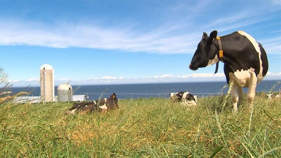 Des vaches dans un champ sur le bord du fleuve.