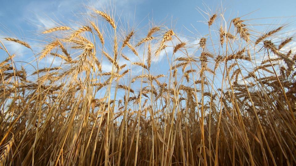 Des gerbes de blé poussent dans un champ.