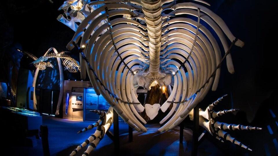 Gros plan sur un squelette de baleine dans un musée.