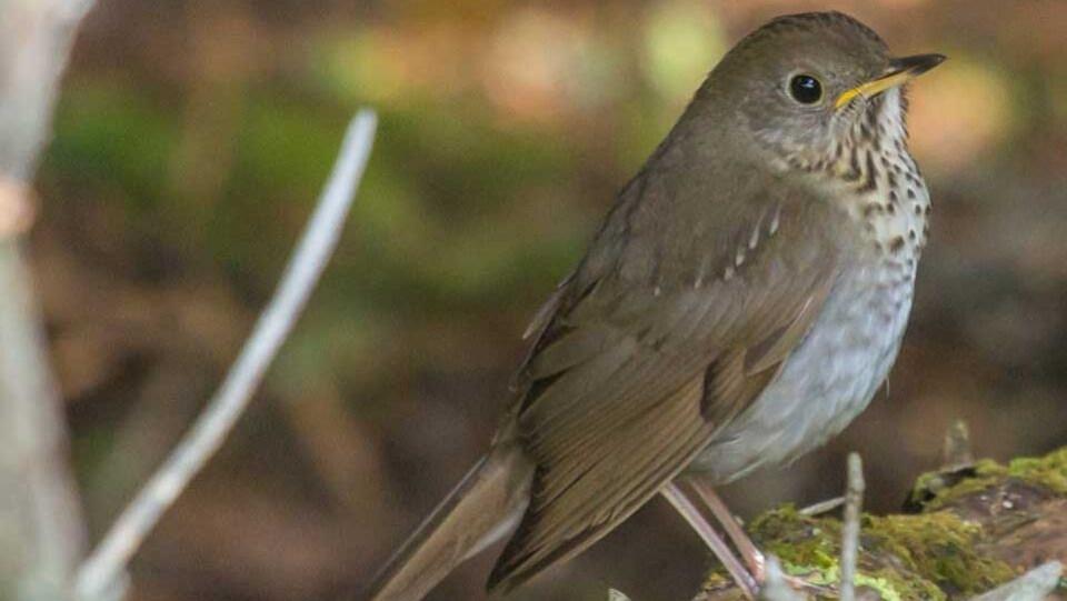 Grive de Bicknell, une espèce menacée que l'on trouve dans les forêts boréales de l'est du Canada.
