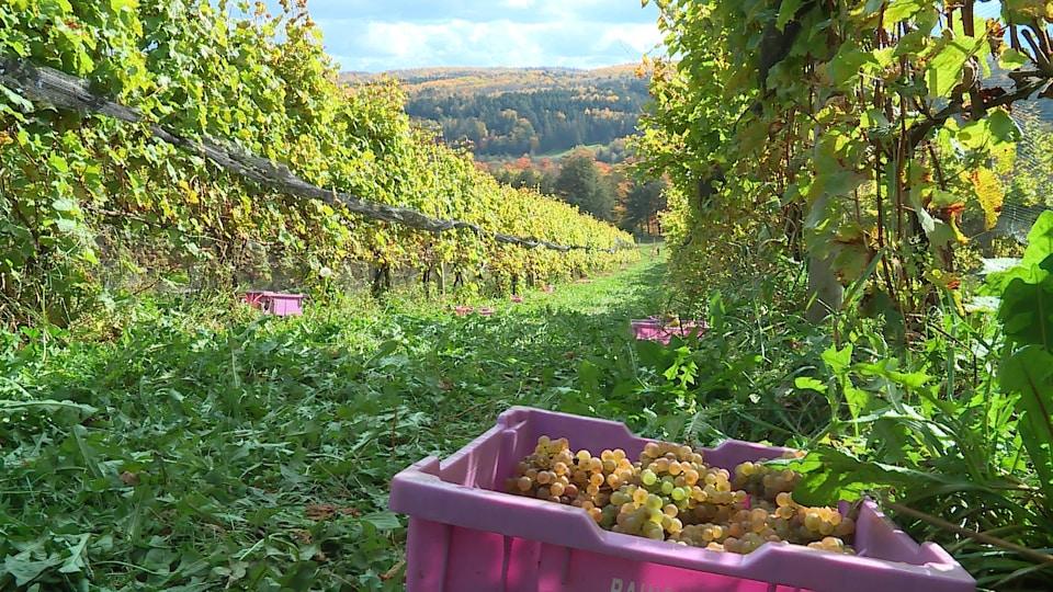 Des rangs de raisins poussent dans le vignoble sur le flanc d'une colline