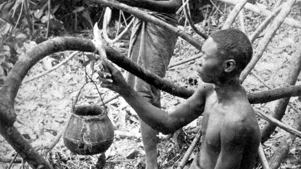 Deux Congolais récoltent du caoutchouc dans une forêt.