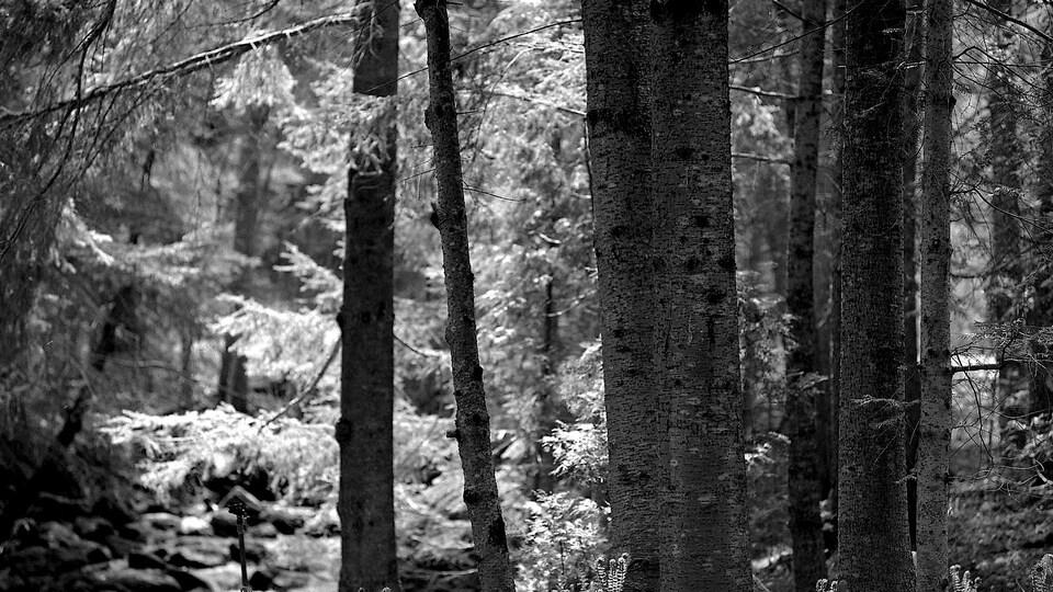 Des arbres des Jardins de Métis, en Gaspésie.