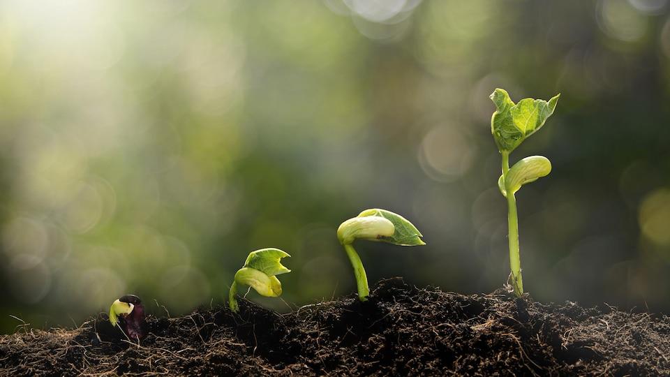 De jeunes pousses en processus de germination.