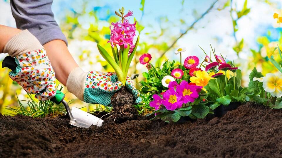 Des fleurs plantées dans la terre.
