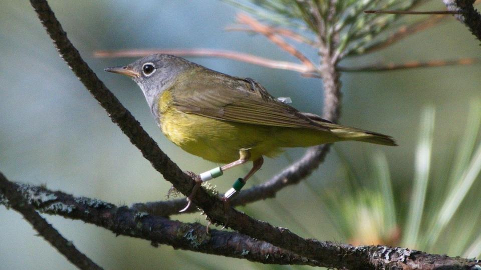 Un oiseau perché sur une branche porte deux bagues d'identification aux pattes et un minuscule instrument sur sa partie dosrale.
