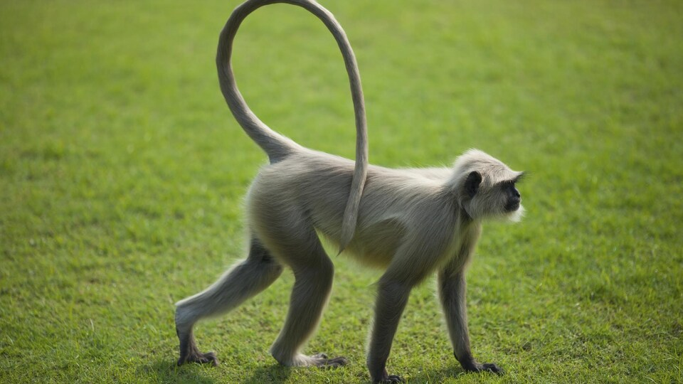 Un singe sur une pelouse.