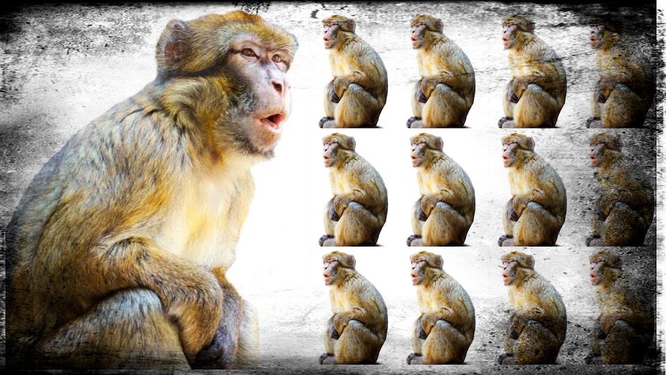 D'un côté, un macaque. De l'autre, douze macaques. Le collage représente le clonage.