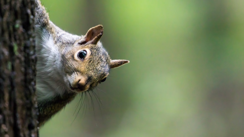 Un écureuil qui se cache le corps derrière un arbre, et qui regarde vers nous.
