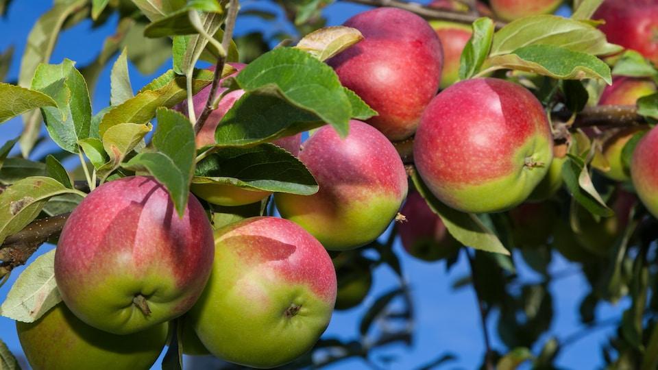 Des pommes McIntosh dans un arbre.