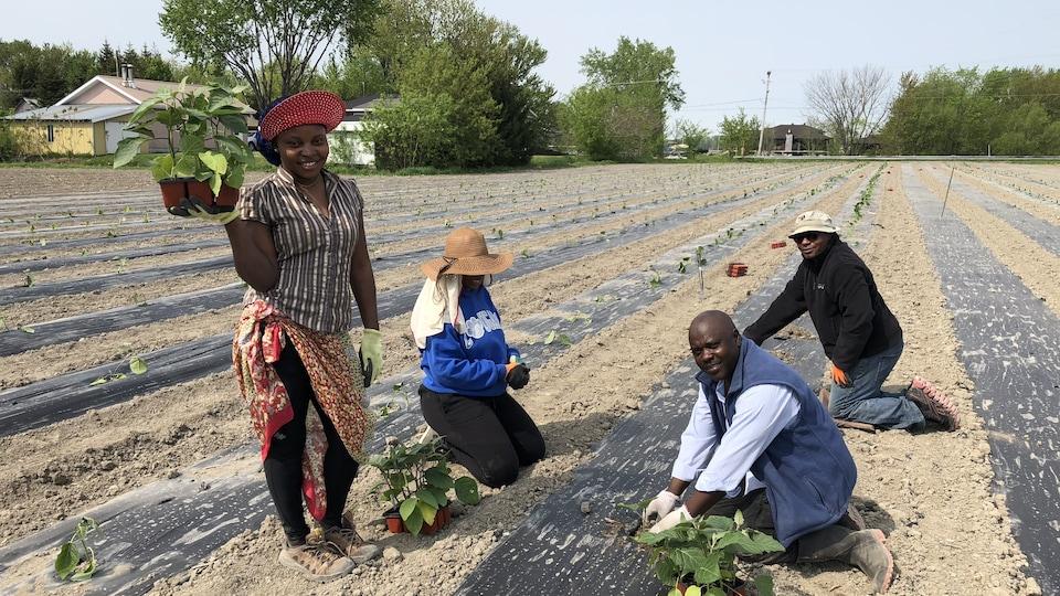 Deux femmes et deux hommes d'origine congolaise en train de planter des légumes dans un champ.