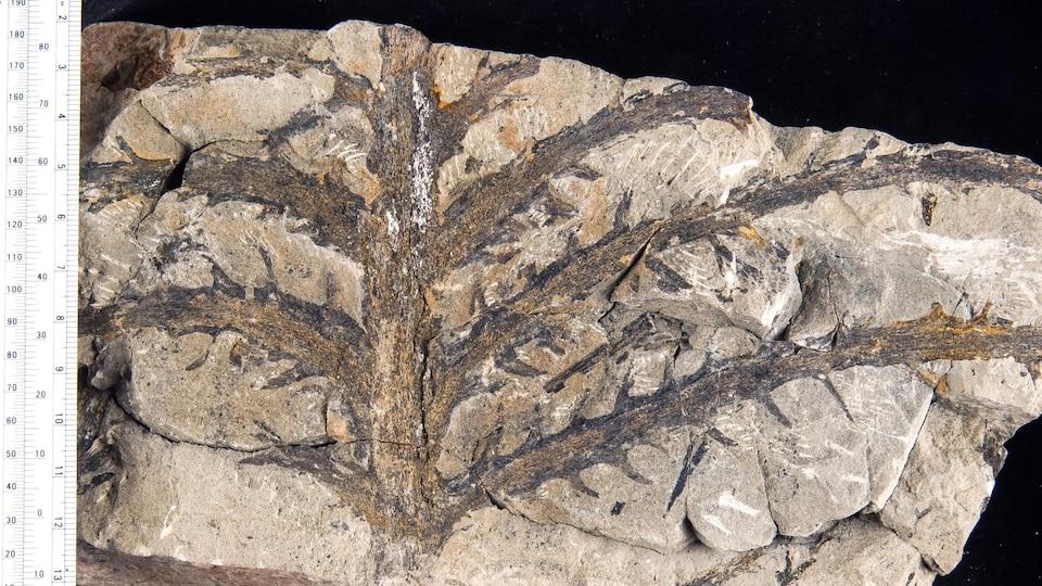 Une plante fossile.