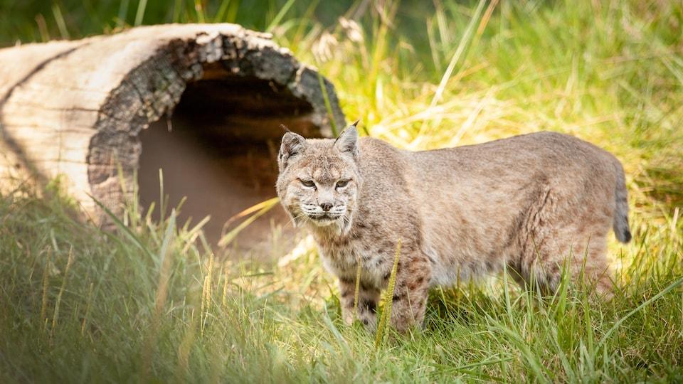 Un lynx roux dans son abri au Bioparc de la Gaspésie.