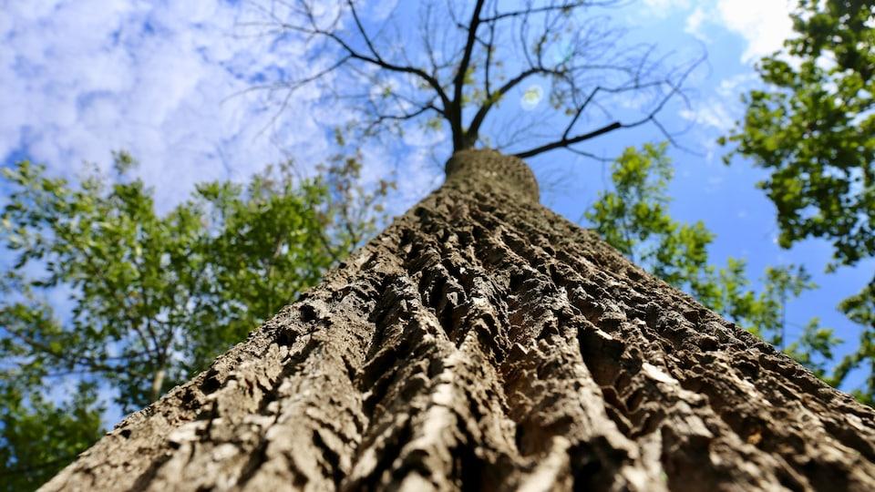 Une photo de l'écorce d'un frêne malade