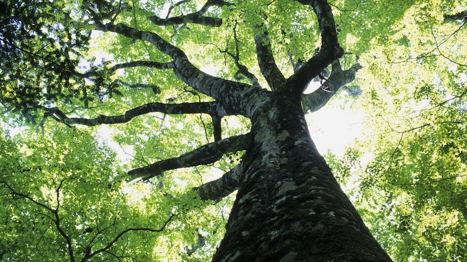 Un immense arbre déploie ses nombreuses branches.