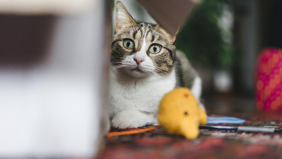 Un chat est couché à côté d'une boîte de carton, prêt à jouer.