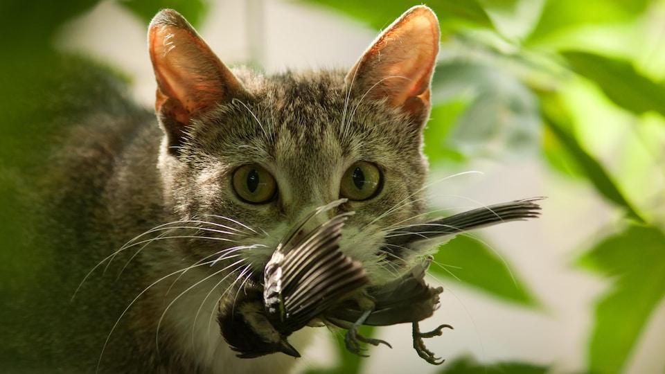 Un chat capture un oiseau et le tient dans sa gueule.