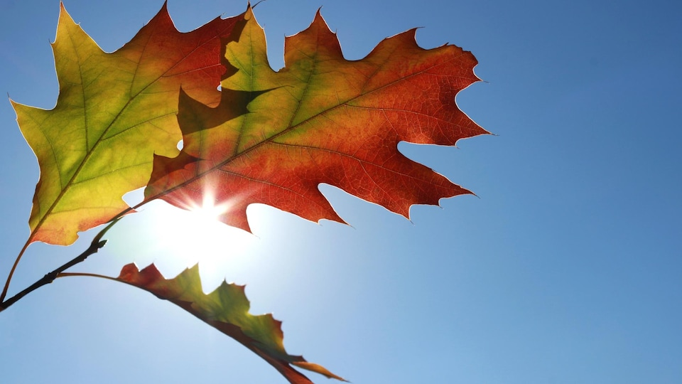 Des feuilles d'un chêne rouge flottent au vent.