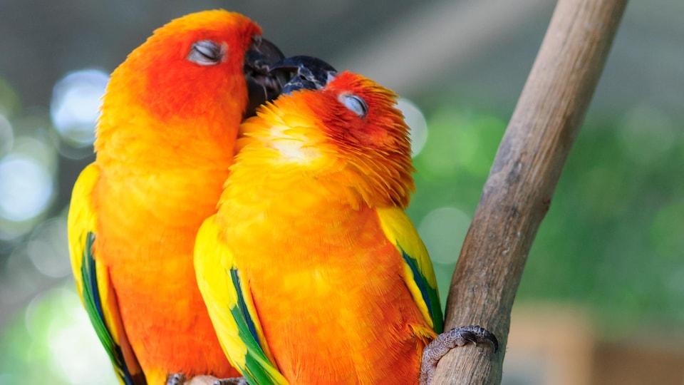 Deux inséparables se posent sur une branche.