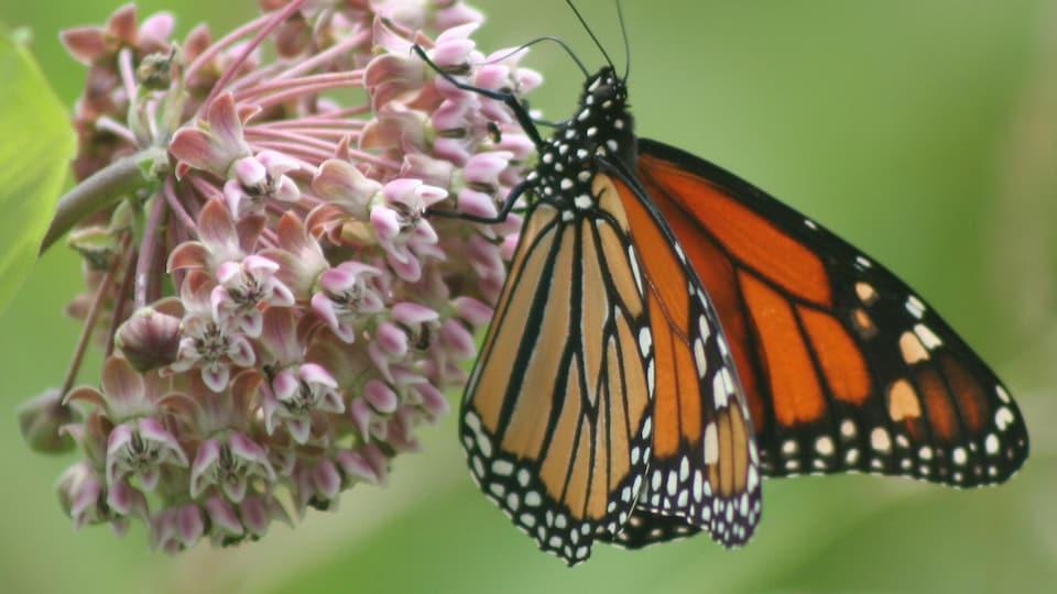 Un monarque se pose sur une plante.