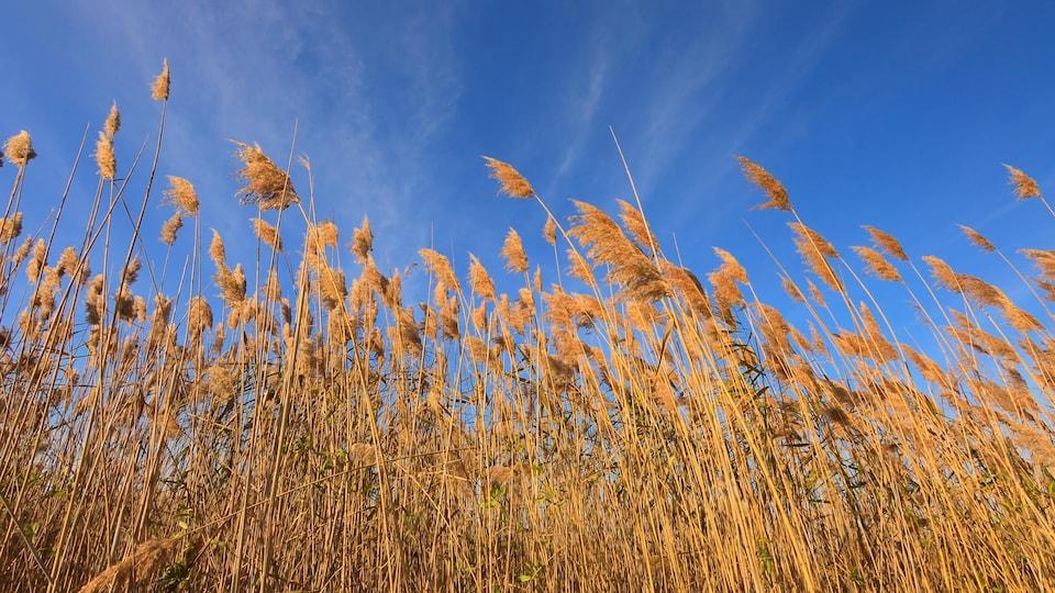 Des phragmites sont balayés par le vent, avec un ciel bleu en arrière-plan.