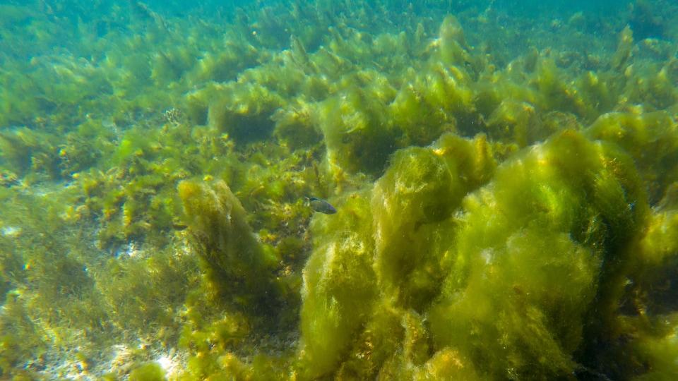 Illustration des algues marines dans l'océan.