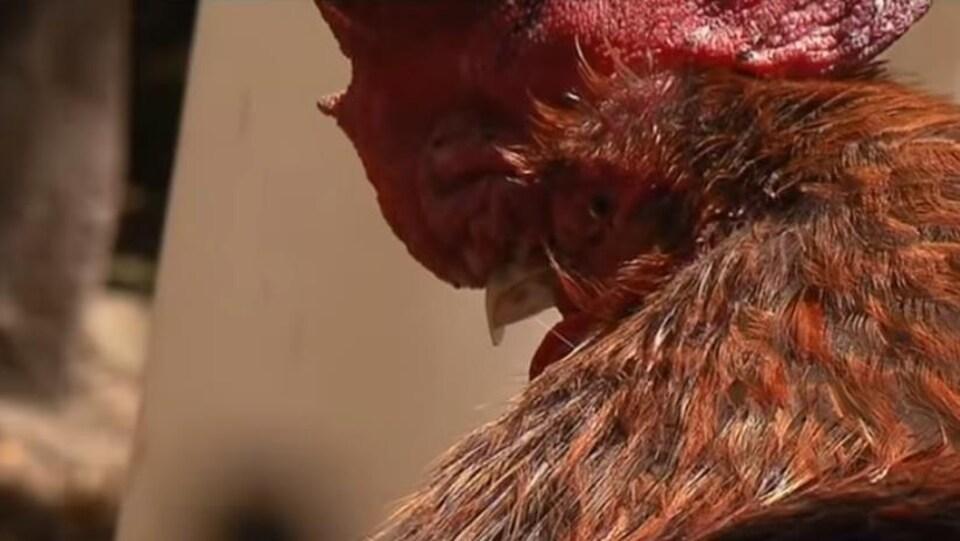 Une photo du coq Maurice pris d'un reportage de France 3