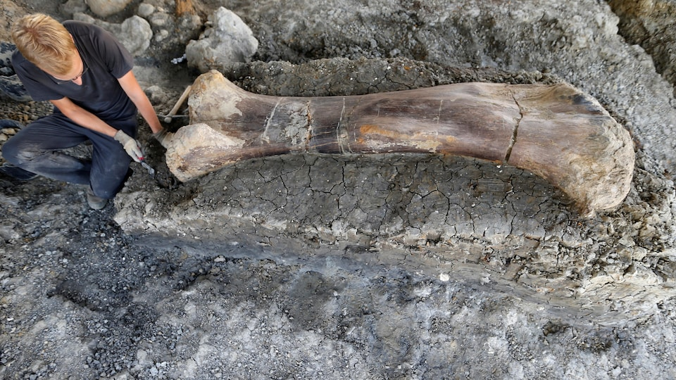 Un homme inspecte le fémur d'un dinosaure découvert en France