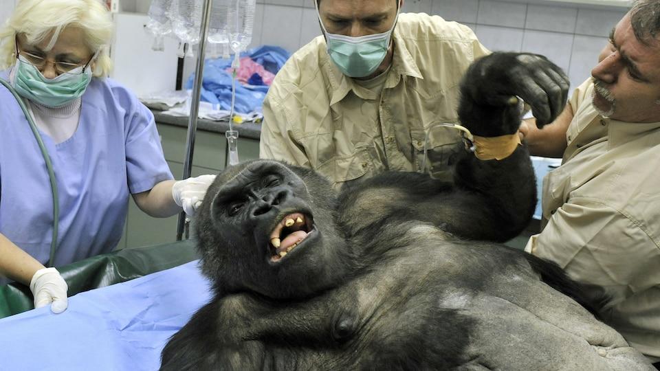 Les vétérinaires du zoo de Budapest pratiquent une chirurgie sur un gorille de 32 ans qui a développé une tumeur.