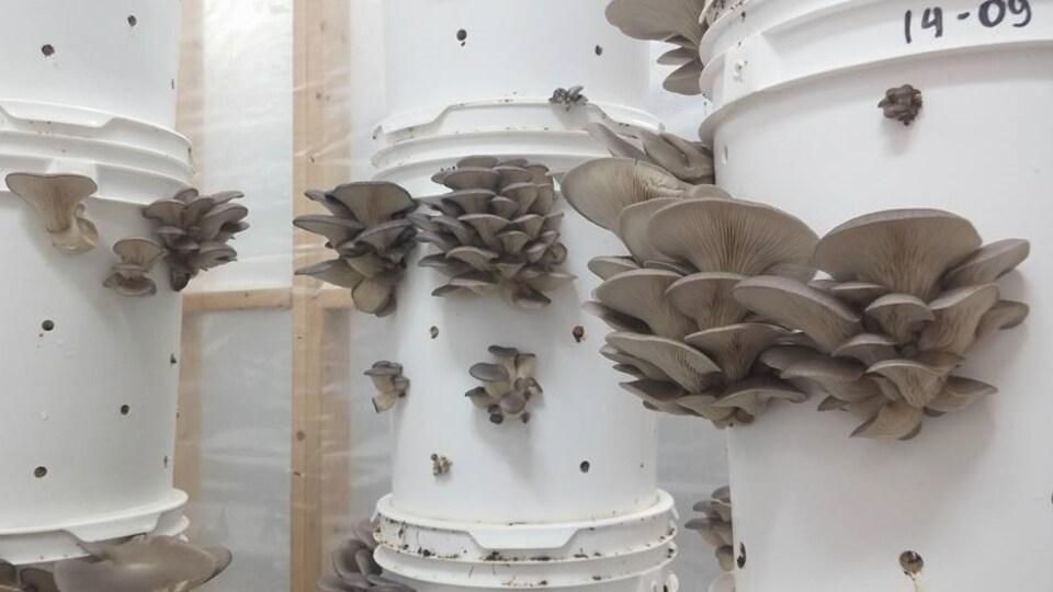 Les pleurotes cultivées sur du marc de café de l'entreprise montréalaise Blanc de gris.