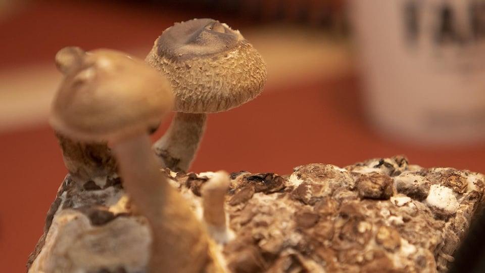 Le fruit des récoltes d'un ensemble pour faire pousser des champignons soi-même.