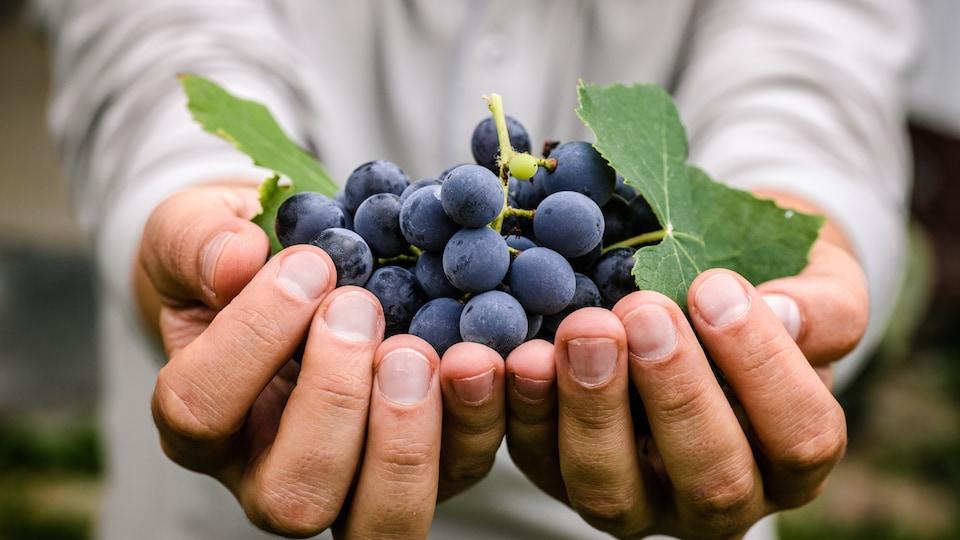 Un homme tient des raisins dans ses mains.