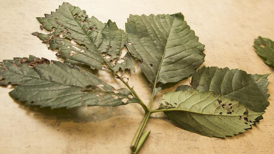 Des feuilles d'arbre après le passage du scarabée japonais.