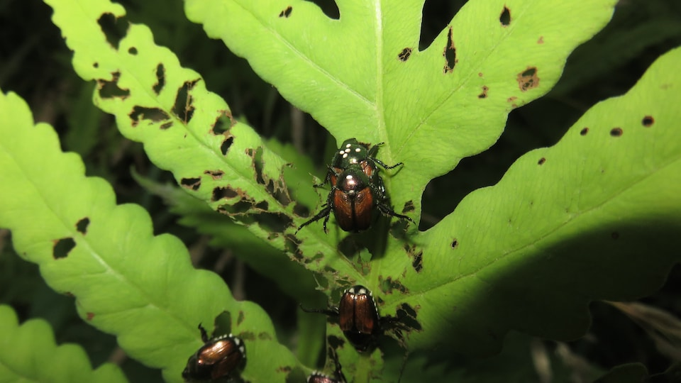 Des scarabées japonais avec des taches blanches sur la tête, révélant la présence d'œufs de mouche.
