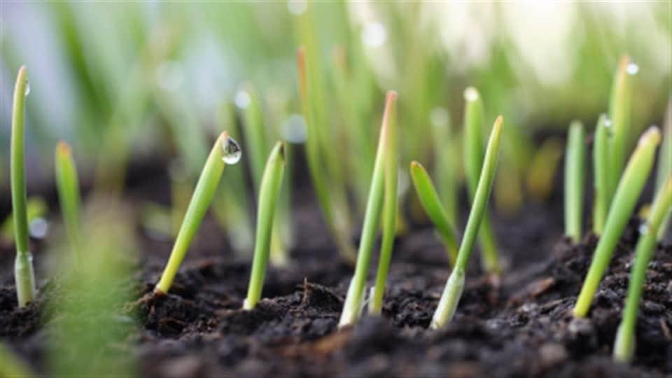 Des petites semences qui percent la terre.
