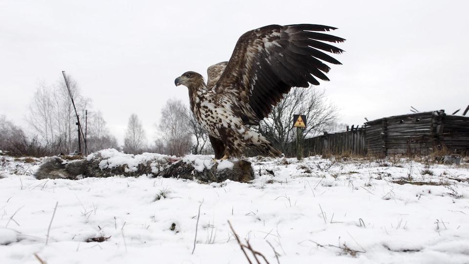 Un aigle dévore une carcasse de loup dans la neige.