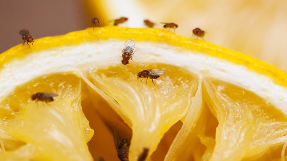 Des mouches à fruits se posent sur un quartier d'agrume.