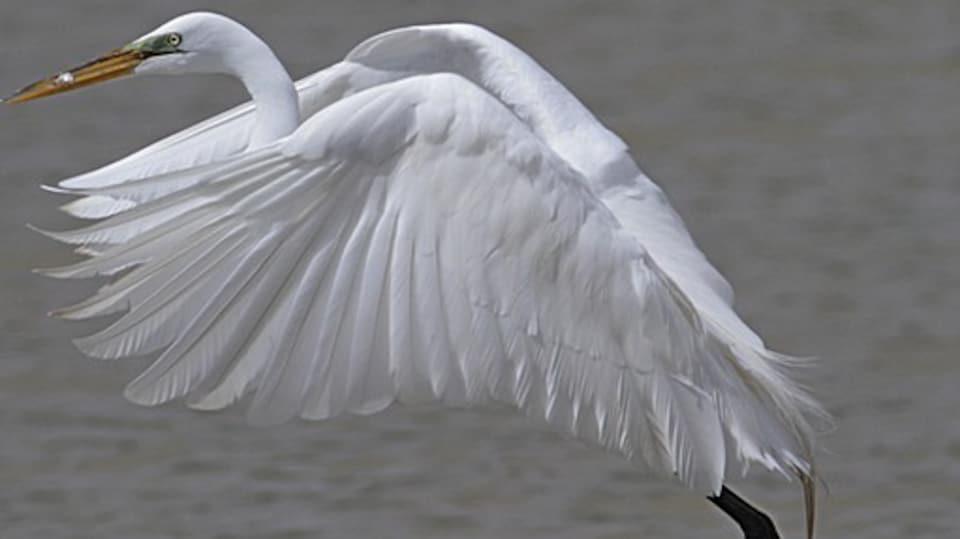 L'oiseau grande aigrette qui prend son envol au dessus de l'eau