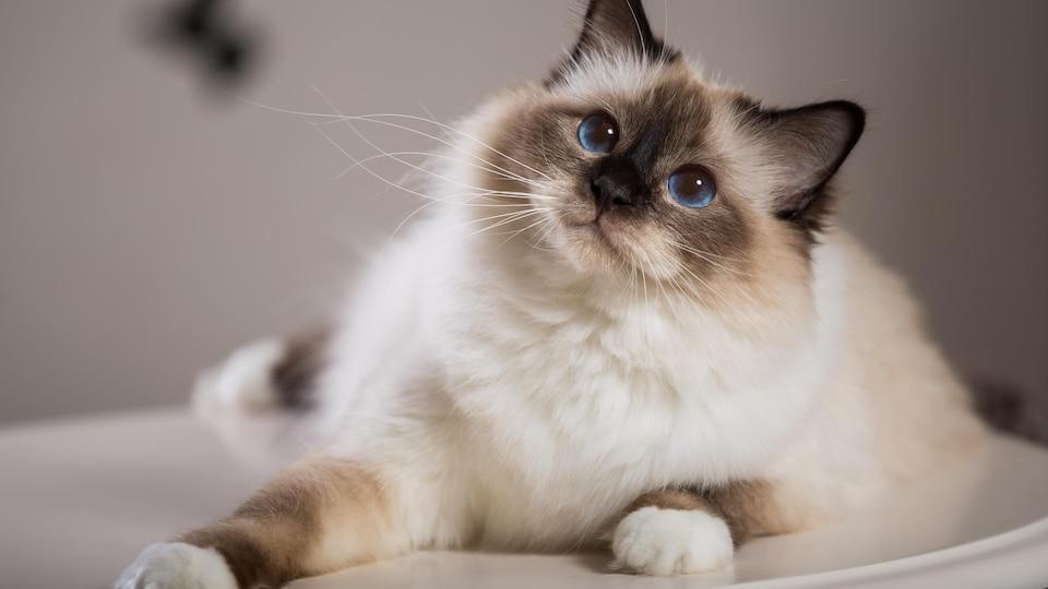 Un chat blanc et gris.