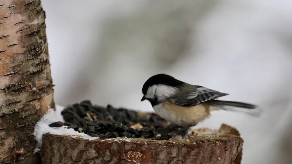 Un oiseau, une mésange ,sur une bûche qui mange des graines de tournesol.