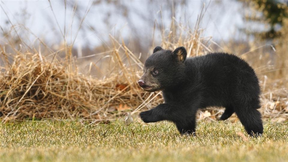 Un petit ours noir