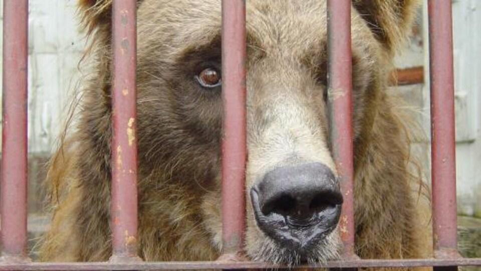 Un ours brun en cage.