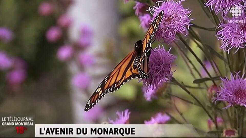 Un papillon monarque est posé sur une fleur d'asclépiade.