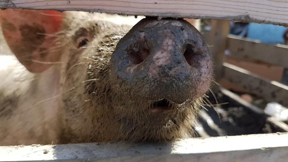 Un porc dans un enclos.